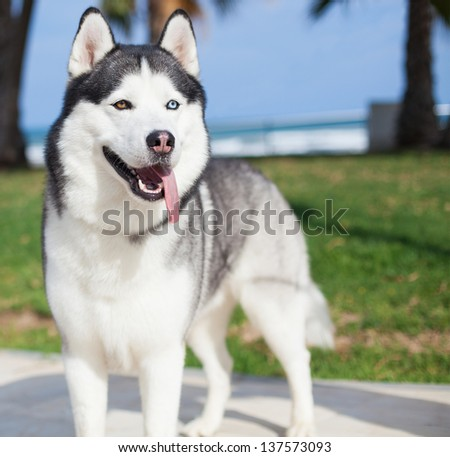 purebred husky at park