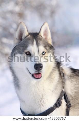 purebred husky in winter - stock photo