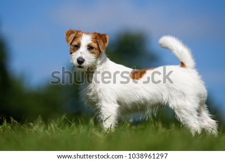 Purebred Jack Russel Terrier dog outdoors in the nature on grass meadow on a summer day. - Shutterstock ID 1038961297