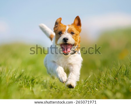 Purebred Jack Russel Terrier dog outdoors on a sunny summer day. #265071971