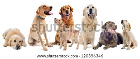 purebred labrador and golden retriever in front of a white background