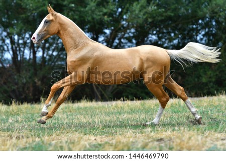 Purebred palomino Akhal Teke stallion running in gallop on the grass in summer. #1446469790