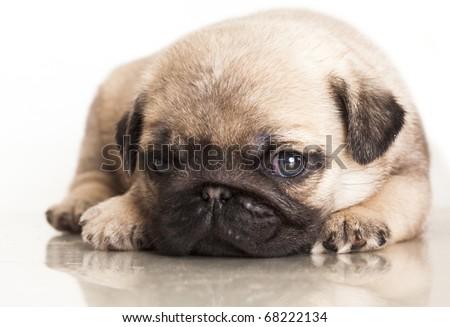 purebred pug puppy - stock photo