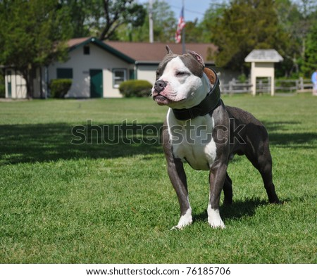 Purebred Razors Edge Blue Nose American Bully Canine Standing Looking in Dog Friendly Park
