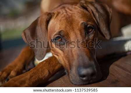 Purebred Rhodesian Ridgebak (Canis lupus) female - portrait of the dog lying on the groung.   #1137539585