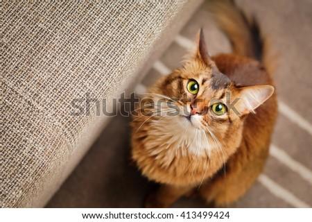 Purebred ruddy somali cat looking up staring at the camera. Zdjęcia stock ©