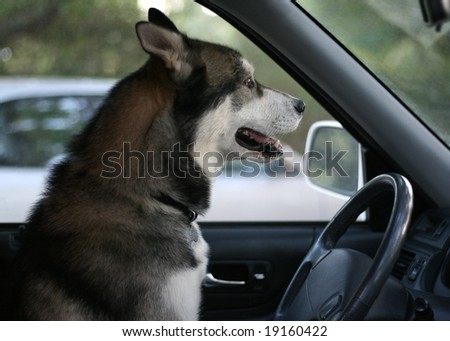 purebred Siberian Husky sitting in the driver's seat