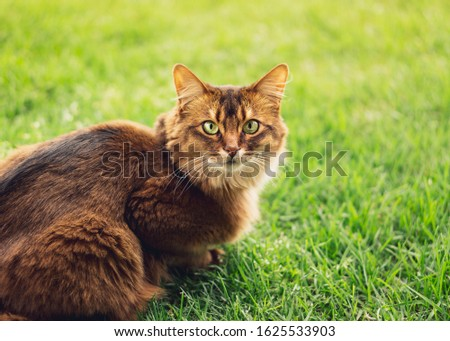 Purebred somali cat in the grass outside. The Somali cat breed is a beautiful domestic feline. They are smart, very social and they enjoy playing outside. These cute cats are ideal family pets. Zdjęcia stock ©