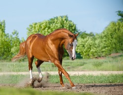 Purebred stallion playing in paddock in summer