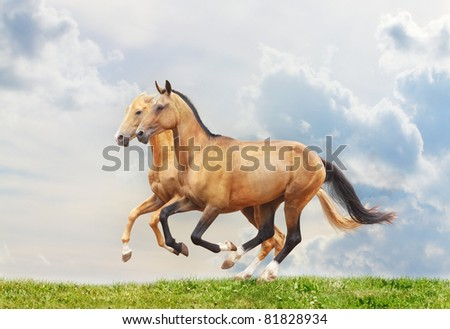 purebred stallions isolated