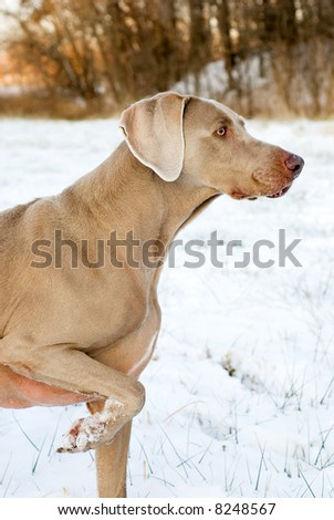 Purebred Weimaraner hunting and pointing