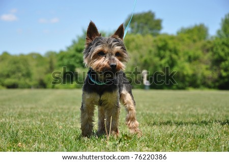 Purebred Yorkshire Terrier in Dog Friendly Park