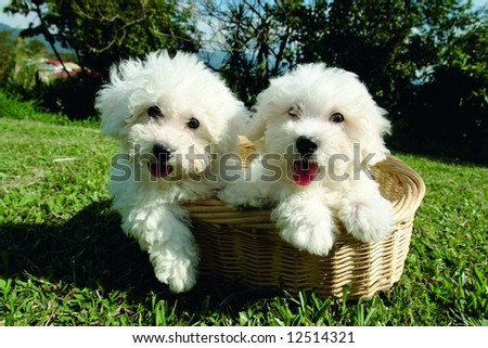 Purebreed bichon frisee puppies in a basket