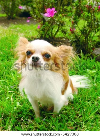Purebreed chihuahua dog sitting in the grass