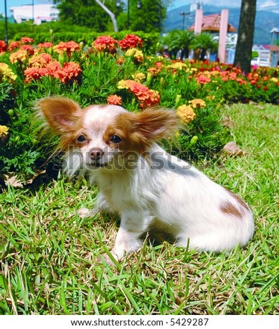 Purebreed chihuahua dog sitting sideways
