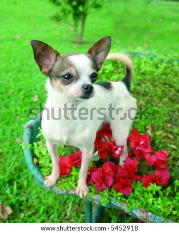 Purebreed chihuahua dog standing in flowers