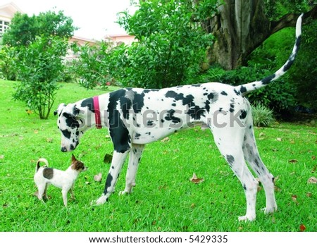 Purebreed chihuahua puppy and a great dane sniffing each other