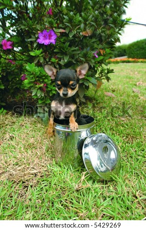 Purebreed chihuahua puppy in a cookie jar