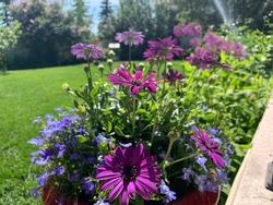 Purple African Daisies in Bloom in Grandma's Garden.