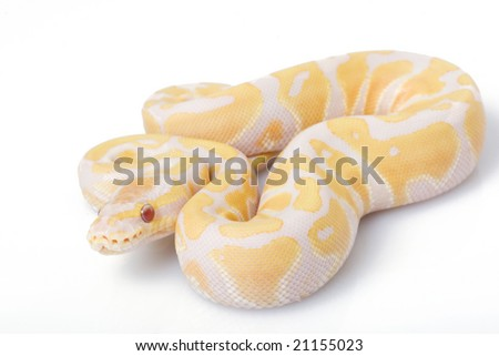 Purple Albino Ball Python (Python regius) on white background.