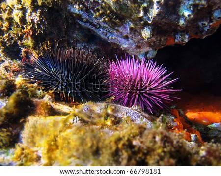 Purple and black sea urchins underwater, Mediterranean sea, Vermilion coast, Roussillon, France