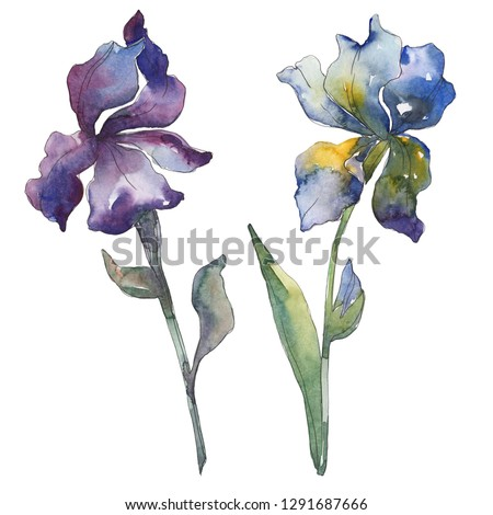 Purple and blue irises. Floral botanical flower. Wild spring leaf isolated. Watercolor background illustration set. Watercolour drawing fashion aquarelle isolated. Isolated iris illustration element.