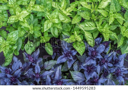 Purple and green basilic plantation. Fresh organic green and purple basil growing in the garden Top view of plenty fresh green and purple basil plant leaves Greenery, green garden natural organic food