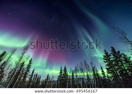 Purple and green northern Lights swirling over pine trees #695456167
