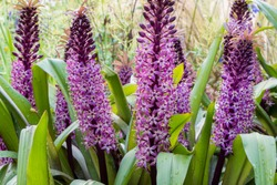 Purple and magenta flower spikes of Pineapple Lily, Eucomis 'Joy's Purple', in mediterranean style border. Rain drops on thick green leaves. Grasses blurred in background.