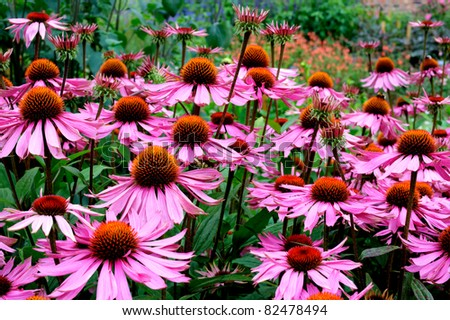 Purple and orange perennial cone flowers Echinacea Purpurea Maxima  in a garden