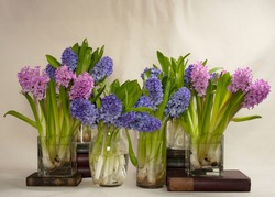 purple and pink hyacinth in glass vases on a cloth table top still life