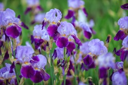 Purple and violet irises on green garden background.Spring or summer flowers closeup.Sunny day. Lot of irises. Large cultivated flowerd of bearded iris, Iris germanica.iris flowers are growing in gar