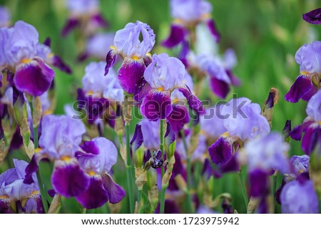 Purple and violet irises on green garden background.Spring or summer flowers closeup.Sunny day. Lot of irises. Large cultivated flowerd of bearded iris, Iris germanica.iris flowers are growing in gar Foto stock ©