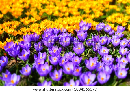 Purple and wellow crocuses field flowers. Beautiful springtime seasonal photography. - Shutterstock ID 1034565577