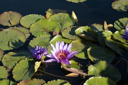 Purple and white flowering water lily (Nymphaeaceae) and green lily pads in a small pond in the sunshine. One flower on nest of green lily pads in a garden.