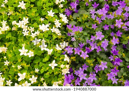 purple and white flowers of the wall or Dalmatian or Adria bellflower (Campanula portenschlagiana), background. Potted plants Photo stock ©