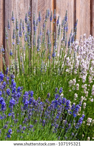 Purple and white lavender near wooden fence