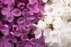 Purple and white lilac flower over green leaves background