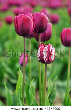 purple and white tulips in skagit valley tulip field