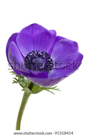 Purple anemone flower isolated on white