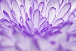 purple annealed Chrysanthemum on black background