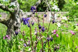 Purple Aquilegia (Granny's bonnet, Columbine flower) and pink Viscaria (Silene Viscaria) in the green meadow grass. Blooming apple tree and wildflowers in the spring garden.