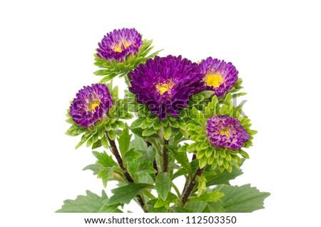 Asters Flowers Purple Purple Aster Flower