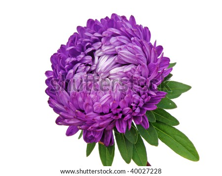 Asters Flowers Purple Purple Aster Flower Isolated