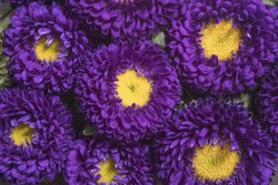 Purple Aster Matsumoto flower on a bed of plantain banana chips set as a background