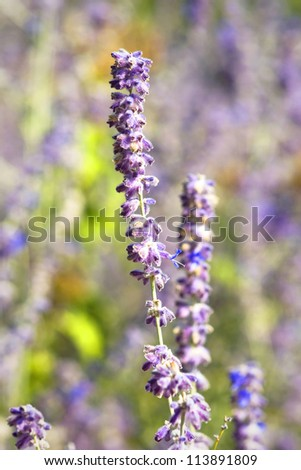 purple autumn lavender