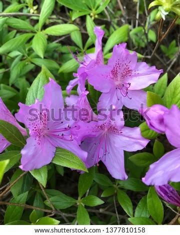 purple azalea on the ground #1377810158