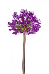 Purple ball on a long stem of an ornamental cut flower Allium. Isolated on white background.