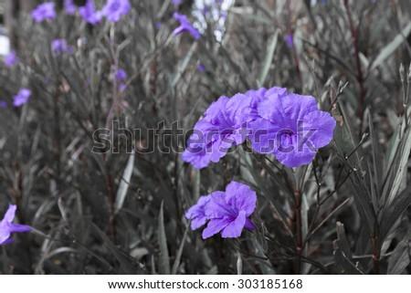 Purple Balloon Flower in garden - (Color Splash)