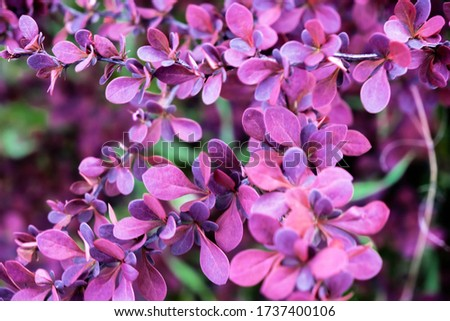 Purple barberry bush. Bush Of Berberis Thunbergii, The Japanese Barberry, Thunbergs Barberry, Or Red Barberry. Close up. Natural wallpaper. Flower background. Red bush in a botanical garden Stock photo ©